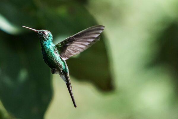 Colibri en gros plan